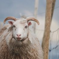 1125 faroe sheep foto gratis sheep 2996251 960 720
